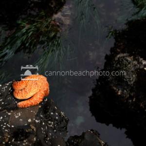 Clinging Orange Seastar