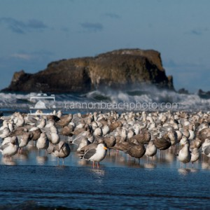 Flock of Seagulls at Ecola Creek 1