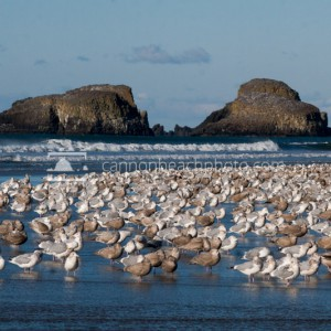 Flock of Seagulls at Ecola Creek 2