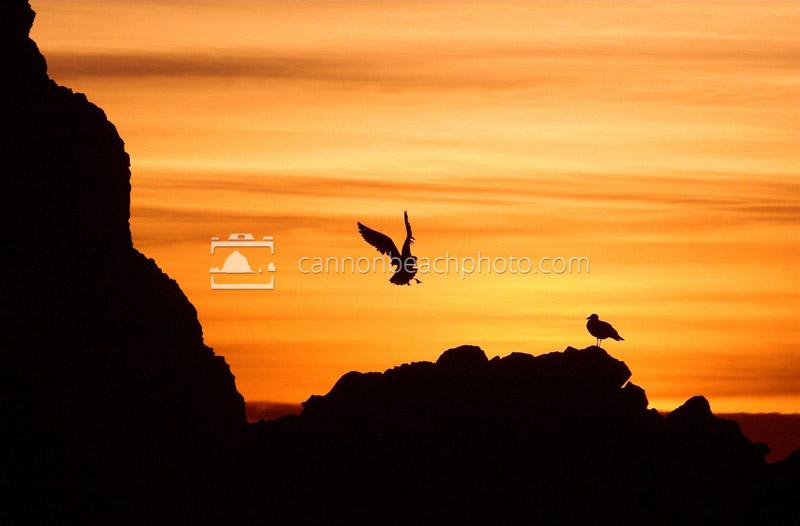 Seagull Landing at Sunset