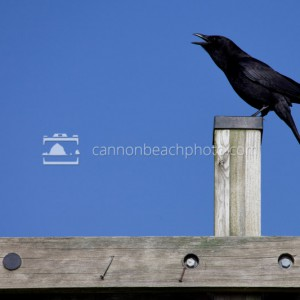 Crow Calling