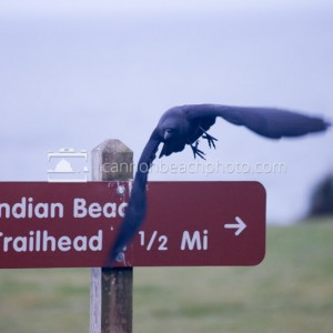 Crow Flight at Ecola Point