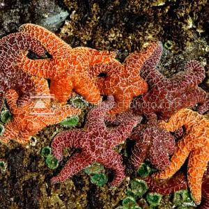 Oregon Coast Starfish, Seastar Closeup