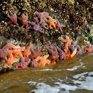 Oregon Coast Starfish, Seastar Colony