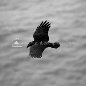 Crow Flight Above the Pacific Ocean 1