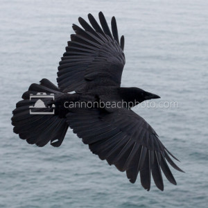Crow Flight Above the Pacific Ocean 2