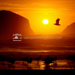 Larus, Seagull Flight at Sunset
