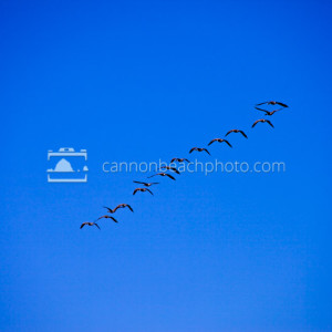 Geese Flight, Birds in Motion