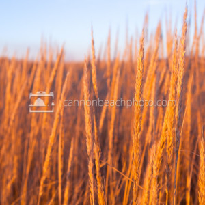 Dune Grass at Sunset