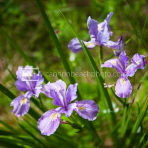 Four Irises in Bloom