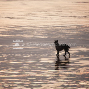 Offleash Dog on Golden Beach