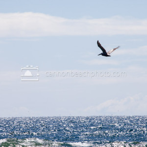 Pelican Outstretched Wings