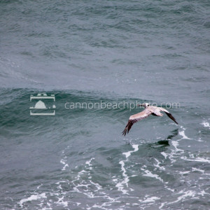 Pelican in Flight, Pacific Ocean 1