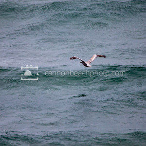 Pelican in Flight, Pacific Ocean 2