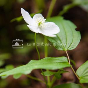 Woodland Anemone - Spring Wildflowers