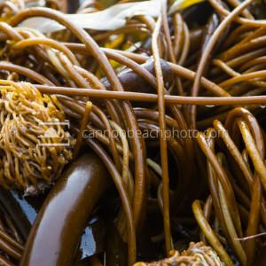 Beach Kelp Macro 1
