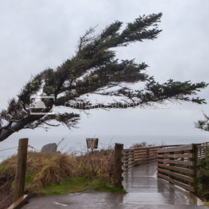Wind Blown Tree on the Oregon Coast