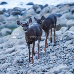 Deer Walking the Rocky Seashore in Seaside, Oregon