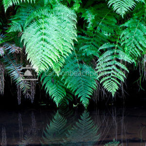Lady Fern Reflection