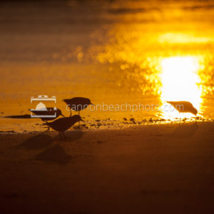 Sandpipers Oregon Shore at Sunset 3