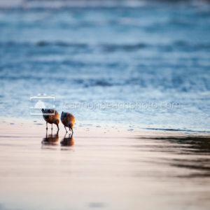 Sandpipers Up Close, Horizontal