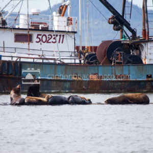 Sea Lions Basking in Astoria Harbor
