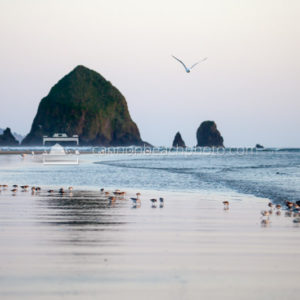 Seagull and Sandpipers in Cannon Beach