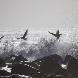 Seagulls Escape an Incoming Wave 1