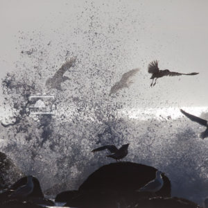 Seagulls Escape an Incoming Wave 3