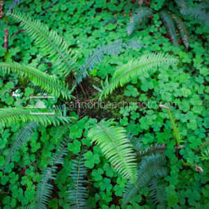 Sword Fern and Forest Floor