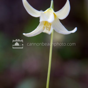 Fawn Lily Portrait