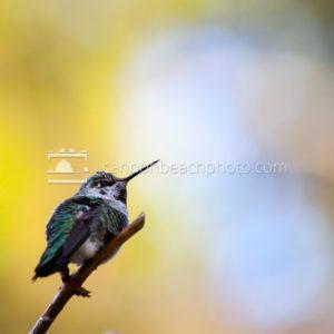 Rufous Hummingbird Perch
