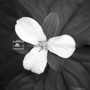 Trillium in Black and White