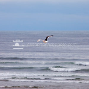 Specific Seagull, Pacific Ocean 2
