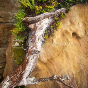 Ferns Growing on Driftwood, Oregon Coast 1