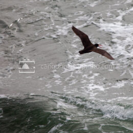 Flight of the Oyster Catcher
