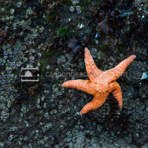 Orange Starfish on the Coast