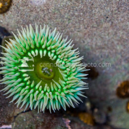 Sea Anemone in the Tidepool
