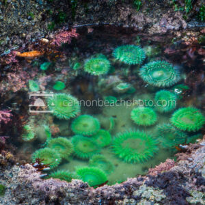 Tidepool of Anemones