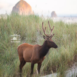 Elk in the Dunes