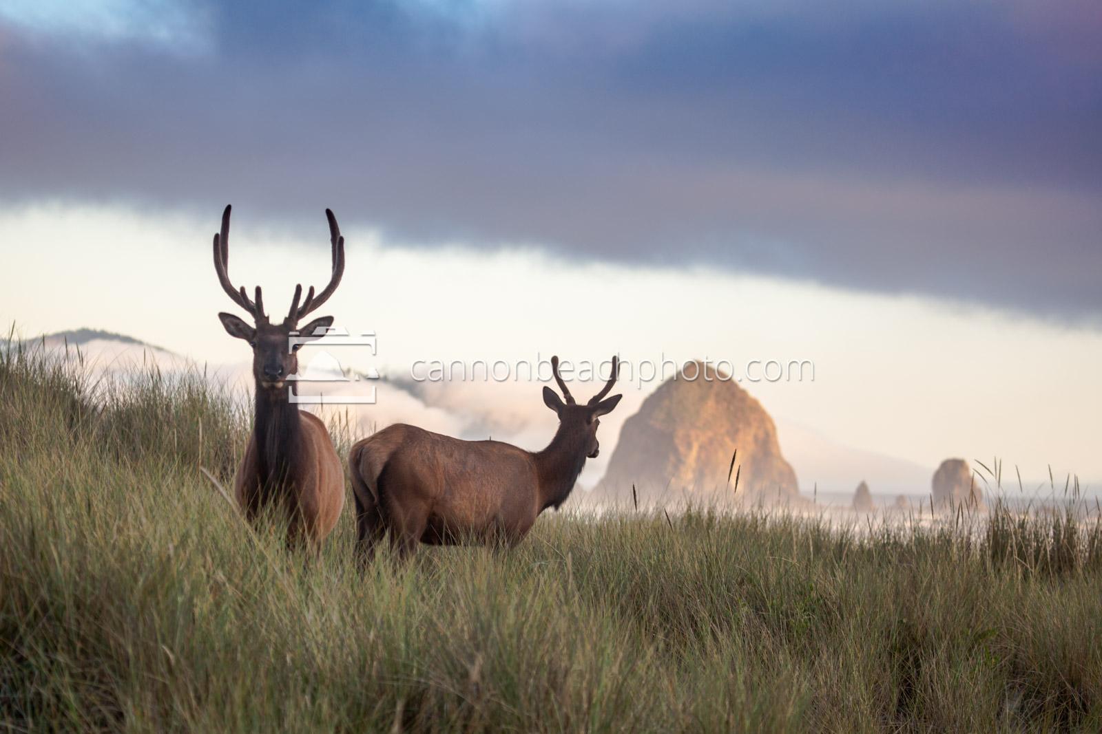 Elk on the Beach