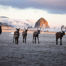 Group of Elk Walking the Beach