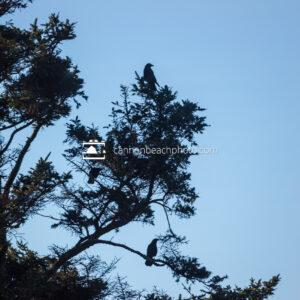 Crow's Pine Perch