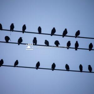 Flock on Wire (Horizontal)