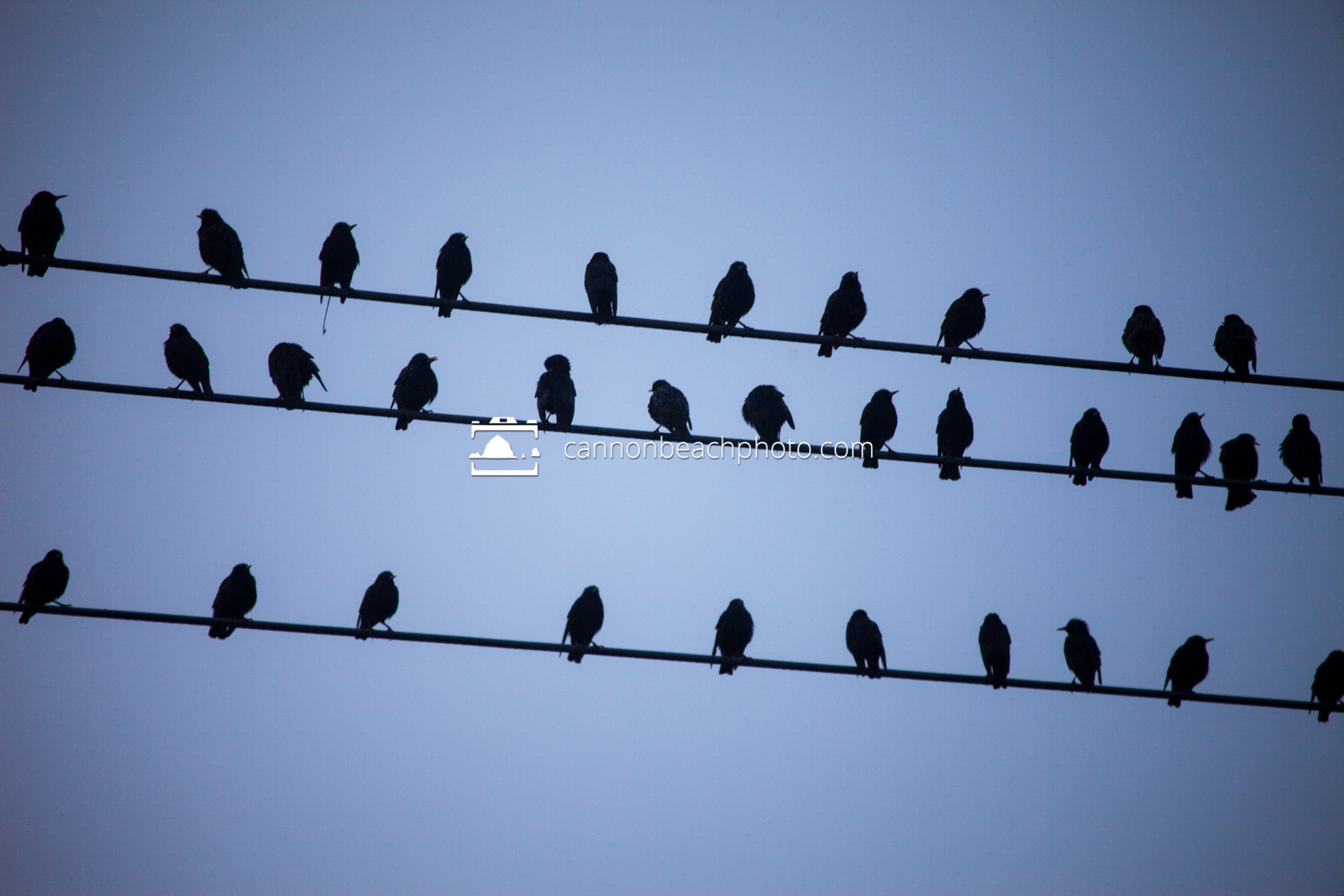 Flock on Wire (Horizontal)