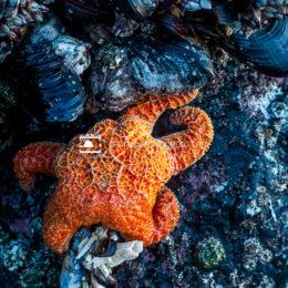 Orange Sea Star and Marine Life