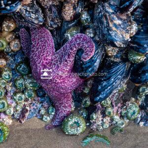 Purple Sea Star and Marine Life