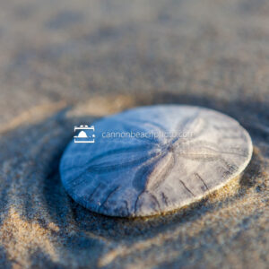 Sand Dollar in Blue and Yellow