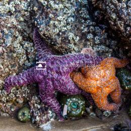 Sea Stars Cuddling